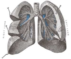 Human Lungs Courtesy Of Wikipedia
