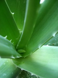 Aloe Vera Plant - HB Media - All Rights Reserved