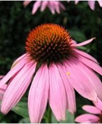 Echinaea Flower