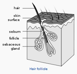 Hugging Your Way To Faster Hair Growth - Hair Follicles - Wikipedia - All Rights Reserved