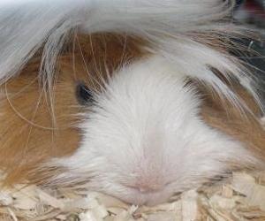 guinea pig - small mammal pet