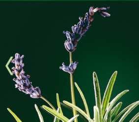 Lavender in Tonucia Mask