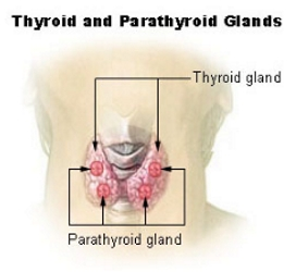 Thyroid Gland - Wikipedia