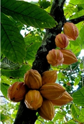 Cocoas Tree - Wikipedia.com