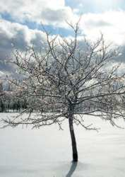 Winter Trees - Wikipedia