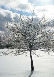 Winter Trees - Wikipedia