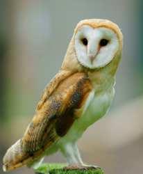 The Barn Owl - Wikipedia
