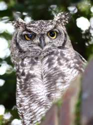 The Spotted Owl - Wikipedia.com