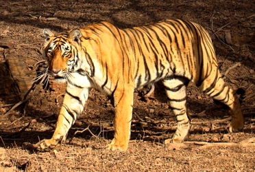 Bengal Tiger - Wikipedia