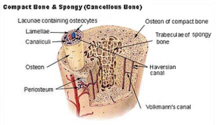 Contact Bone - Wikipedia.com