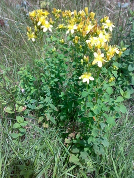St. Johns Wort Plant - Hypericum perforatum - Wikipedia.com - All Rights Reserved