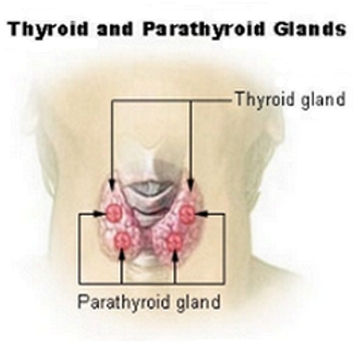 The Thyroid & Parathyroid Glands - Wikipedia.com - All Rights Reserved