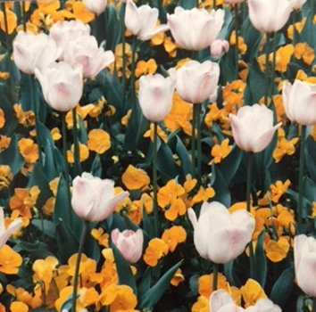 White Tulips - Photo by Karen Marie Shelton - Hairboutique.com - All Rights Reserved