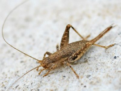 Eat Crickets For Hair Loss And Regrowth?