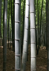 Bamboo Trees In Japan From Wikipedia