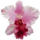Karen Marie's Jewels - Le Fleur Collection - Cattleya Orchid - Baby Pink (1)